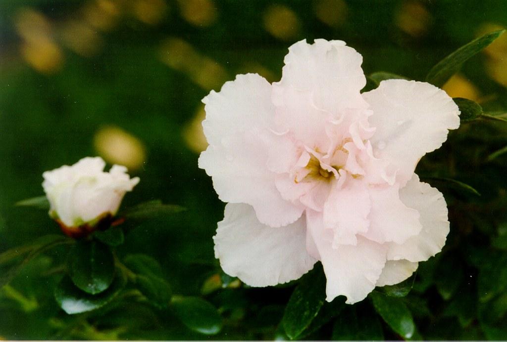 Azalea indica 'Paloma'