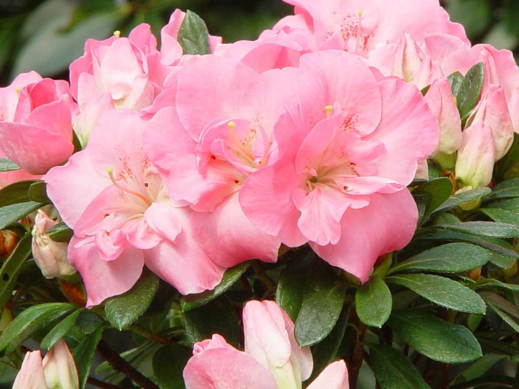 Azalea indica 'Rosali'