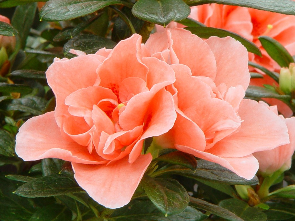 Azalea indica 'Thesla'