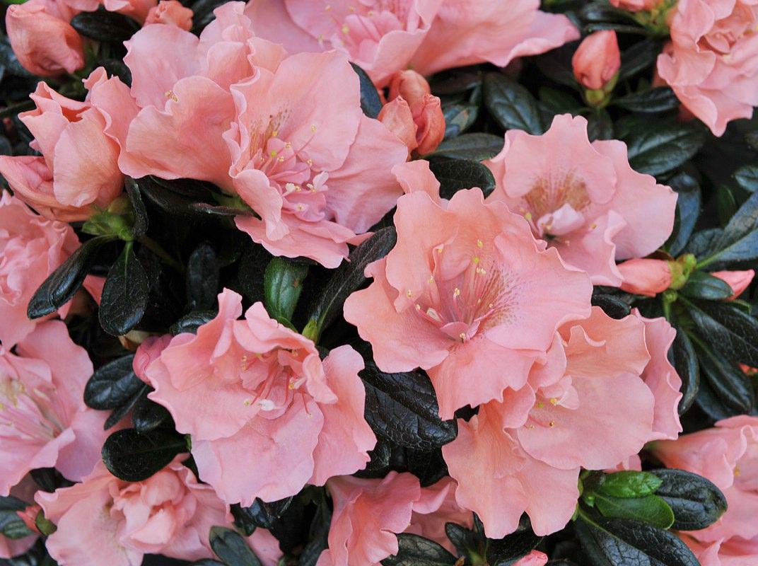 Azalea indica Toshi London